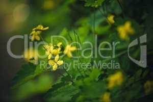 Gelbe Butterblumen