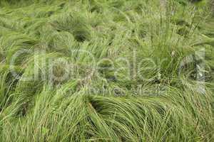 Silky Grass