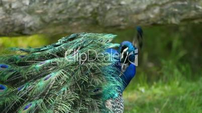 Beautiful indian  peafowl (peacock) closeup