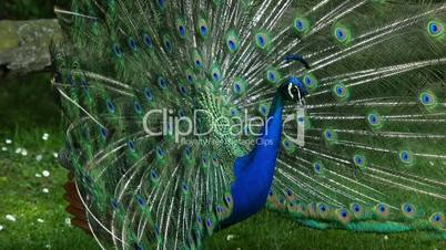 Indian Peafowl (peacock) displaying his feathers