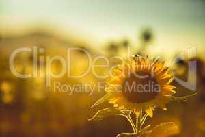 Feld mit Sonnenblumen