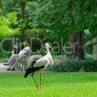 Stork on the green grass