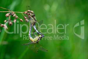 Two dragonflies mating close-up