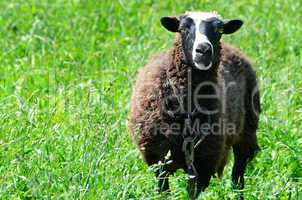 Sheep grazing in a meadow looking into the camera lens