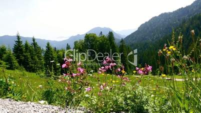 Sunny mountain landscape in the Bavarian Alps with beautiful flowers in foreground