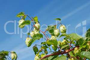 Hop cones against the blue sky