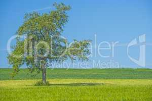 Obstbaum mit blauem Himmel grüner Wiese