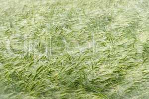 Getreidefeld im Morgentau