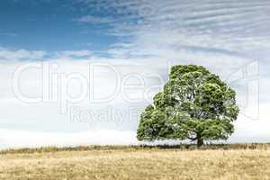 south australia tree