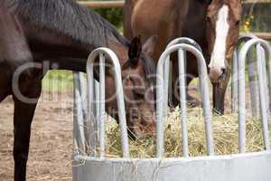Pferde fressen aus Heuraufe