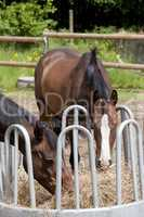 zwei Pferde fressen Heu