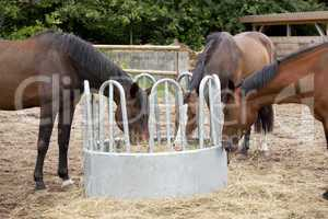 drei Pferde fressen Heu