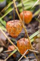 Macro Dried Physalis Plant at the Garden