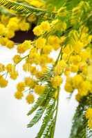 Clusters of globular vivid yellow Mimosa flowers