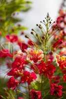 Vivid orange red flowers of Delonix regia