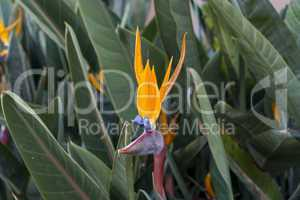 Single colorful Strelitzia or Crane Flower