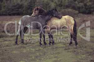 Side view of two horses hugging in field