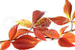 Autumnal twig of grapes leaves (Parthenocissus quinquefolia foli