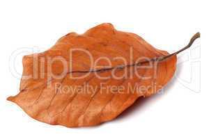 Dry autumn leaf of magnolia
