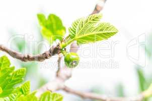 Zweig eines Feigenbaums