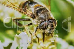 Bee on flowering shrubs