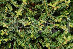 Spruce spherical