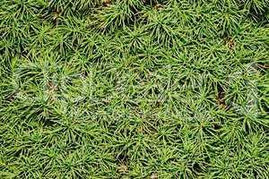 Spruce conic