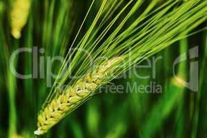 Green barley spike