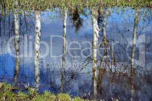 Birken spiegeln sich