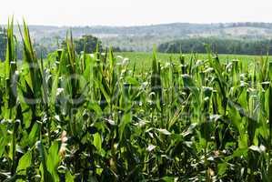Corn field against distant hills