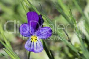 Violet flower and green leaves