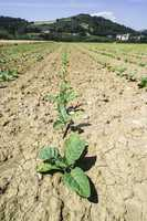 Plantation of young tobacco plants