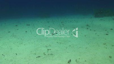 Sea Snakes Hide in Sand on Bottom, underwater scene