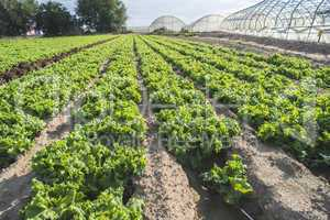 Lettuce plantation field