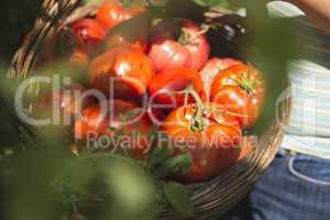 Picking tomatoes in basket