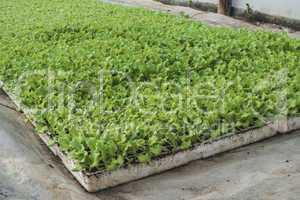 Lettuce plantation seedlings