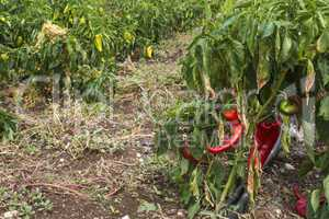 Plantations of peppers in the field