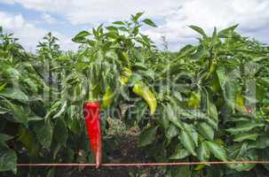 Plantations of peppers in the field.