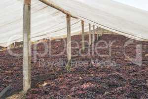 Drying grapes for raisins