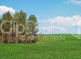 Green meadow at the edge of pine grove