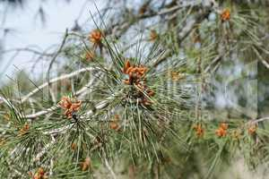 Male pollen cones (strobili) among needles on Mediterranean pine tree, shallow DOF