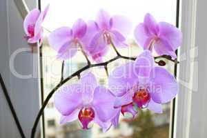 pink orchid on the window