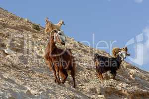 herd of goats on rocky hillside in the desert in Wadi Qelt near Jericho