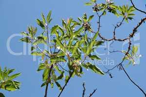 Sunlit leaves and berries of a laurel tree (laurus nobilis) on sky background