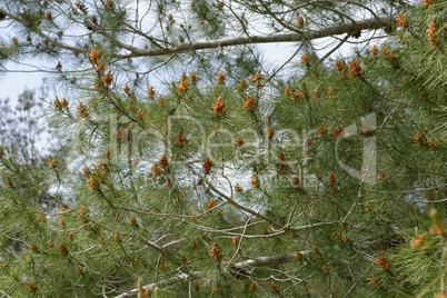 Male pollen cones (strobili) among needles on Mediterranean pine tree, shallow DOF