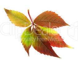 Autumnal multicolor grapes leaf (Parthenocissus quinquefolia fol