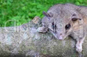 Dormouse on branch