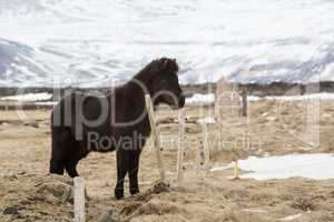 Portrait of a young black Icelandic horse