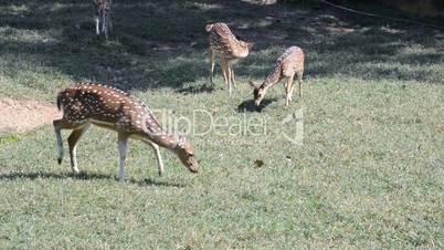Brown sika deer standing, full HD