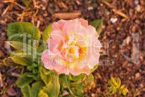 Bunte rosa und gelbe Rose